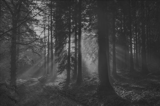 A walk through Stourhead Woods in late autumn, 2012, and the sun rays broke through a mist... streaking through the branches and trees... Black & White version